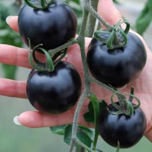 Indigo Rose – самый черный в мире помидор