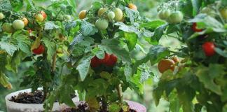 Выращиваем томаты в комнате