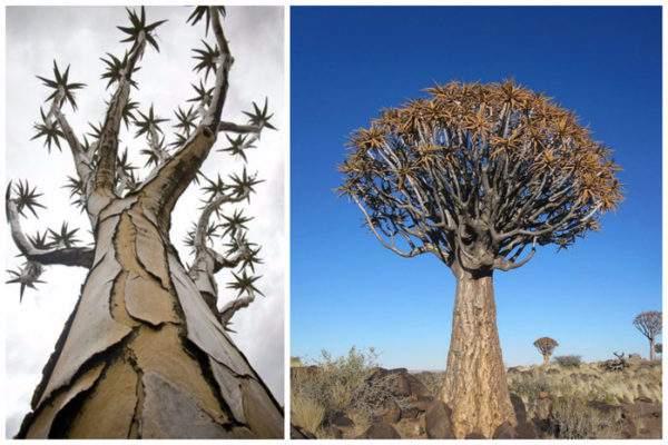 Колчанное дерево