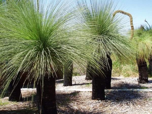 Ксанторрея (дерево-трава)