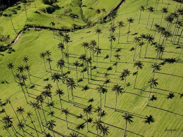 Киндиойская восковая пальма