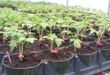 томаты два корня
