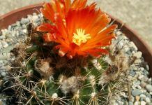 Цветет кактус