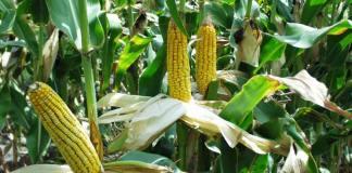 кукуруза (Zea mays)