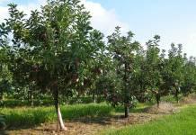 Совместимость плодовых деревьев