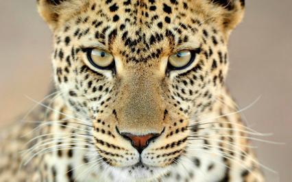 cheetah inspiration