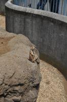 江戸川区自然動物園 プレーリードック