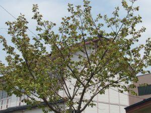 九里学園御衣黄桜