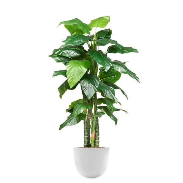 HTT - Kunstplant Philodendron in Eggy wit H200 cm - kunstplantshop.nl