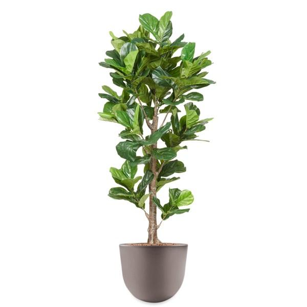 HTT - Kunstplant Ficus Lyrata in Eggy taupe H200 cm - kunstplantshop.nl