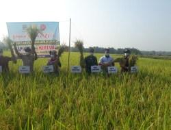 Petani Ngawen Panen Padi, Per Hektar Dapat Pendapatan Kotor Puluhan Juta