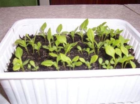 Как собрать семена астры в домашних условиях ( видео)