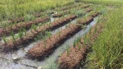 Koraku-en park: Rice field