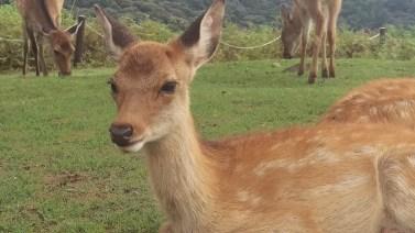 Deer at Mount Wakakusa