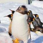 旭山動物園のペンギンの散歩見に行った感想期間はいつまでコース所要時間入園料