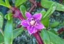 ʻAkulikuli (Sesuvium portulacastrum, Sea Purslane)
