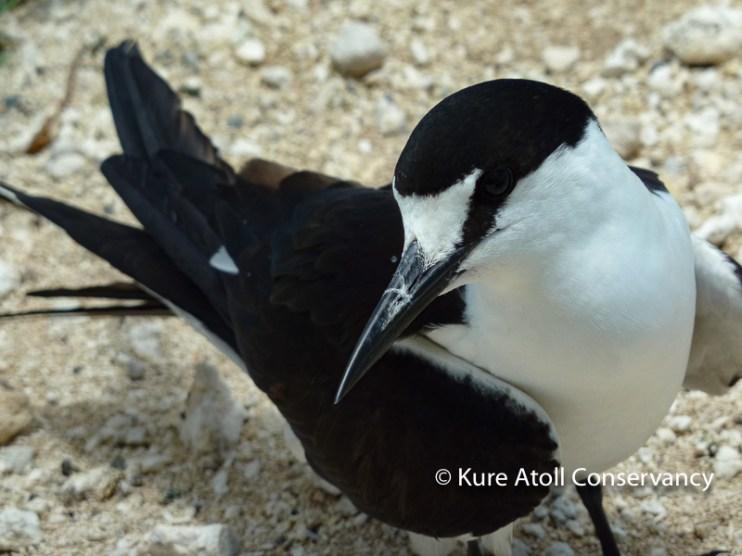 Adult Sooty Tern
