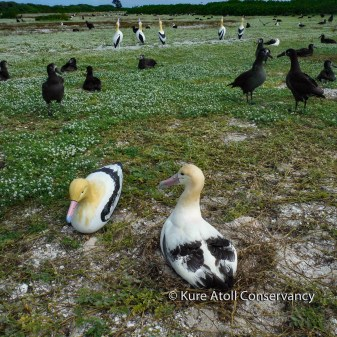 Adult Short-Tailed Albatross (right) with decoy used in social attraction