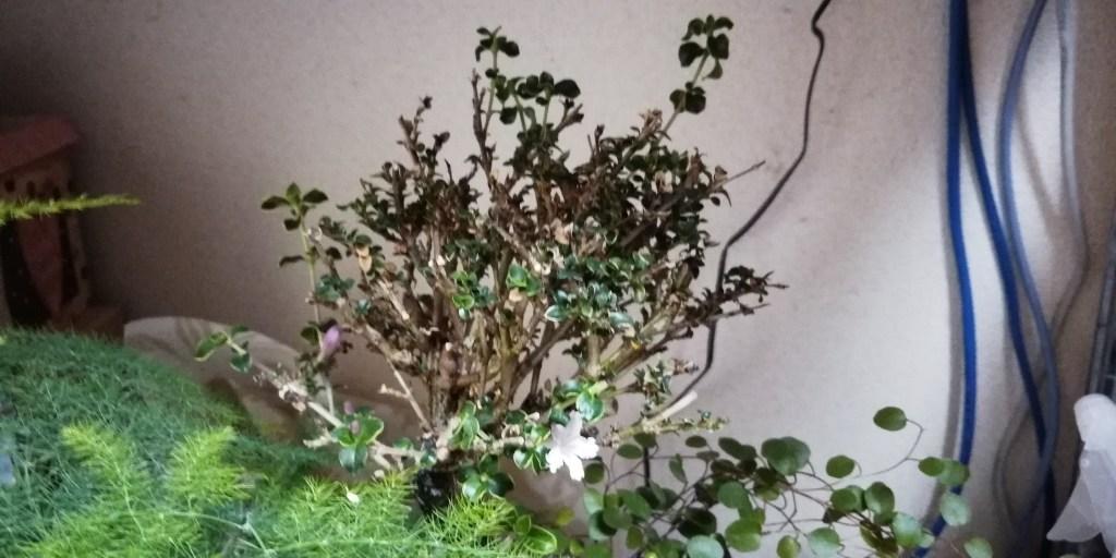 白鳥花 ハクチョウゲ 白丁花 アクアテラリウム 水槽 植える 植物 おすすめ 花
