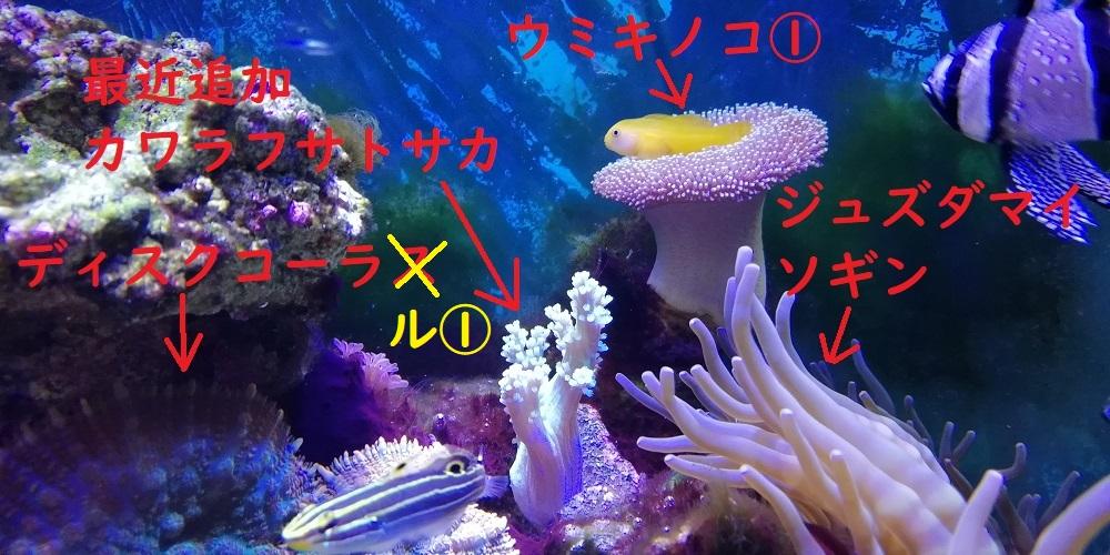 カワラフサトサカ ウミキノコ キイロサンゴハゼ キンセンハゼ ソフト サンゴ