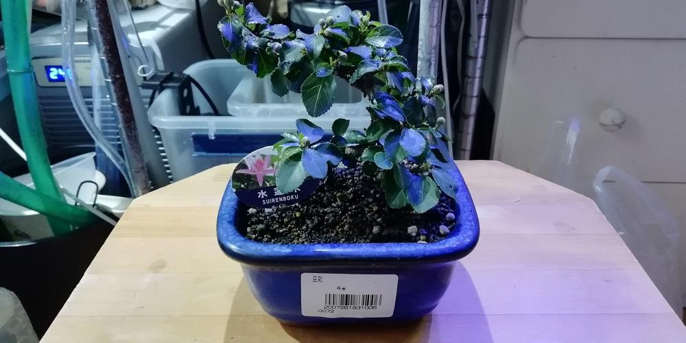 ミニ盆栽 木 睡蓮木 スイレンボク