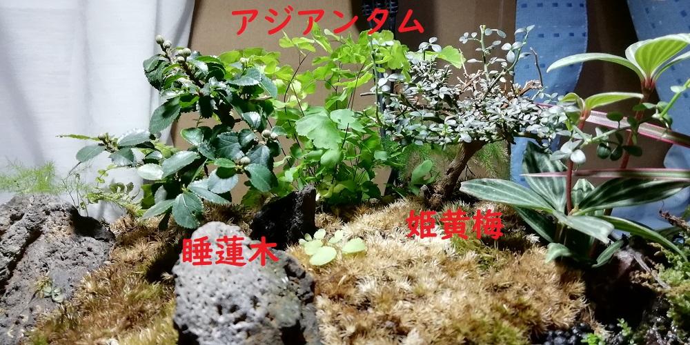 アクアテラリウム ミニ盆栽 木 睡蓮木 スイレンボク テラリウム アジアンタム