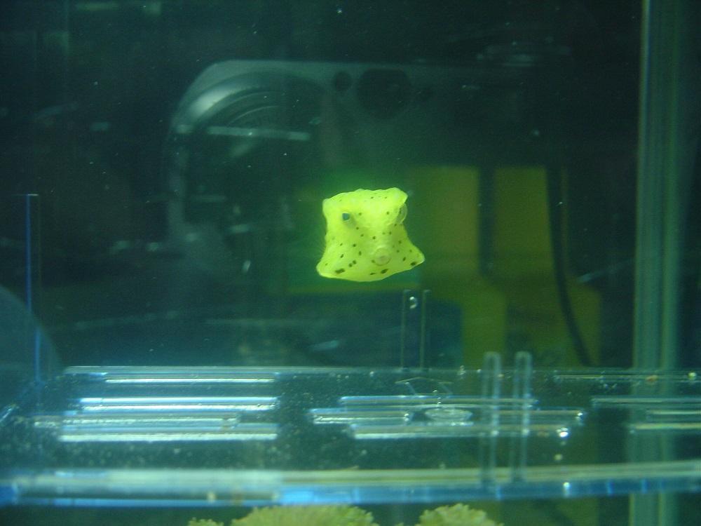 コンゴウフグ 幼魚