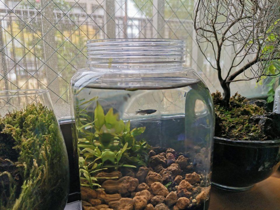 臨時水槽に二匹のオロチメダカ稚魚