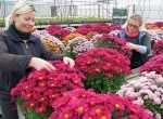 Na jesienne kwiatowe dekoracje grobów najpopularniejsze są chryzantemyFot. Marian Paluszkiewicz