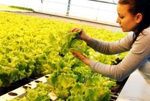 Ceny sałaty nie zmieniły się w porównaniu z ubiegłym rokiem Fot. Marian Paluszkiewicz