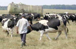 Litewscy producenci mleka, choć już tracą na cenach skupu mleka, na razie wykluczają zmniejszenie swoich stad mlecznych Fot. Marian Paluszkiewicz
