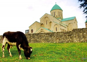 Młody byk pasie się przy Katedrze Bagrati Fot. Brygita Łapszewicz