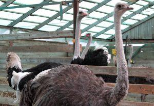 Te ptaki są bardzo agresywne, uznają tylko jednego gospodarza Fot. Marian Paluszkiewicz