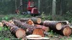 Leśnicy obawiają się, że lasy Litwy zaczną zanikać wskutek wycinki