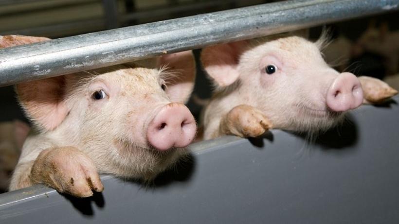 Вспышка АЧС приговорила к смерти свиней в селе Амурзет