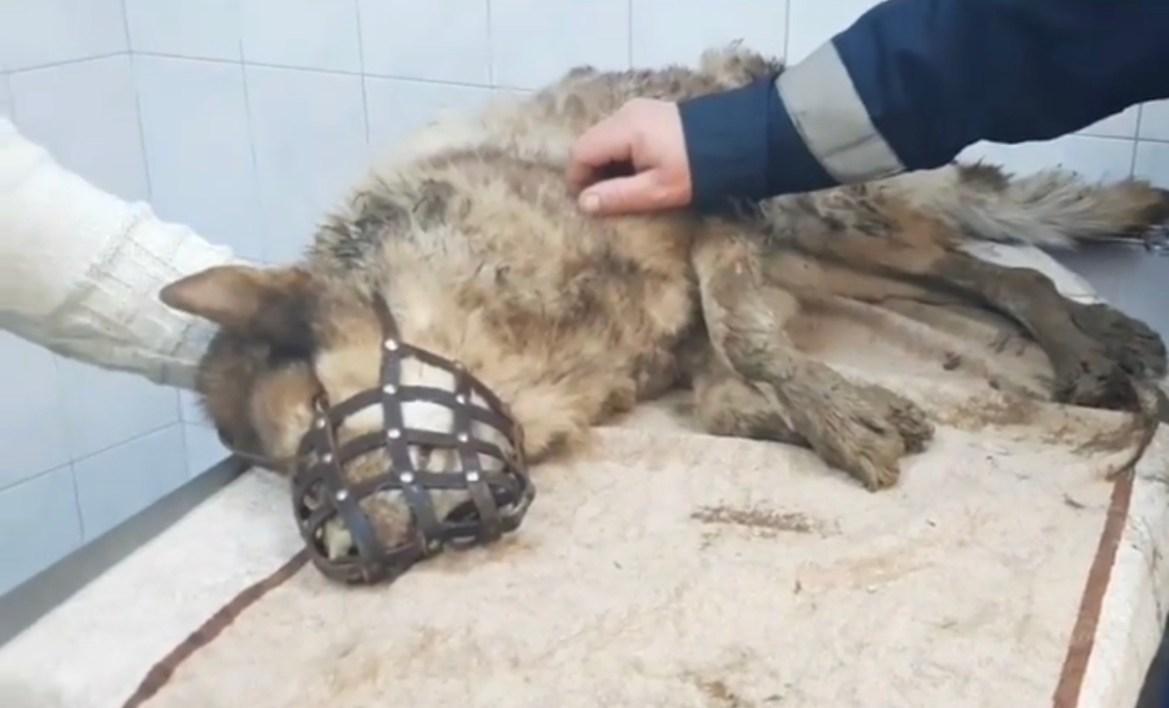 Пёс, которого накануне спасатели вызволили из ледяной ямы, умер