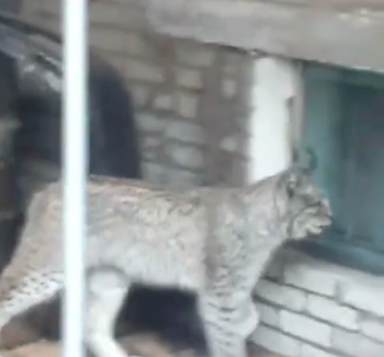 В Биробиджане ликвидировали рысь, гулявшую во дворах