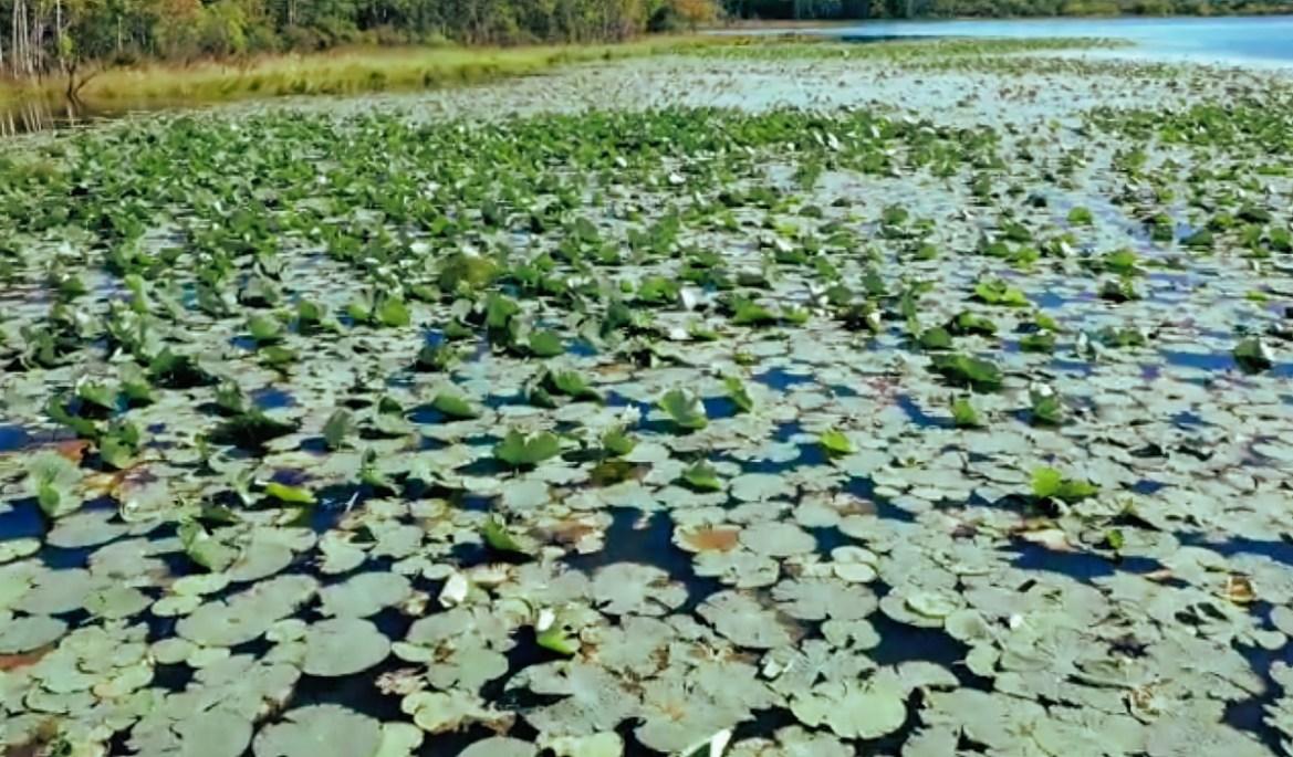 Биробиджанский эколог раскрыл новое место обитания лотоса Комарова в ЕАО (ВИДЕО)