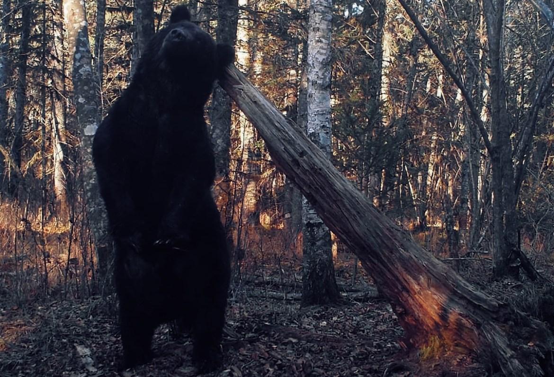 Общение двух медведей в ЕАО через лесную «социальную сеть»  попало в объектив фотоловушек экологов из заповедника                   «Бастак»