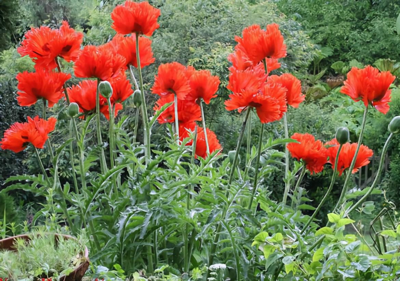 Двенадцать кустов мака изъяли с огорода жительницы Облученского района. Женщине «нравились цветы».