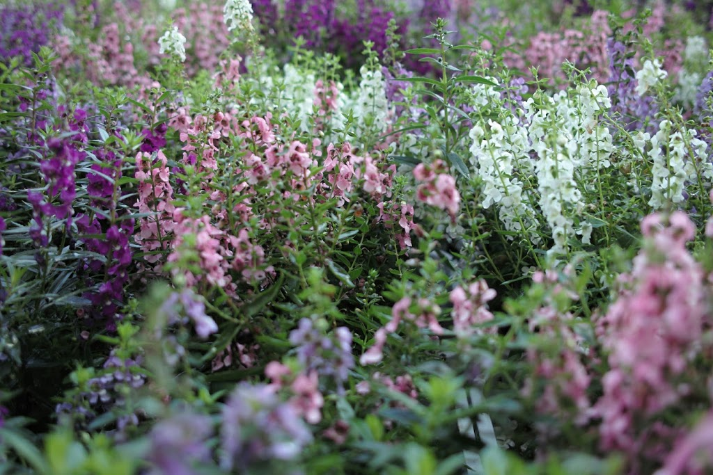 【作例】SIGMA DP2(初代)で撮った夏の花など #カメラ買い増した