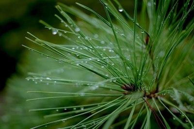 雨上がりの黒松