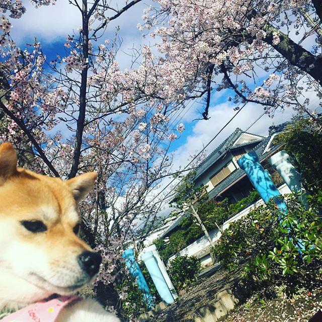 今日の桜昨夜の雨風でだいぶ散ってしまいました。#豆柴 #さくら