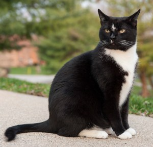 George,_a_perfect_example_of_a_tuxedo_cat