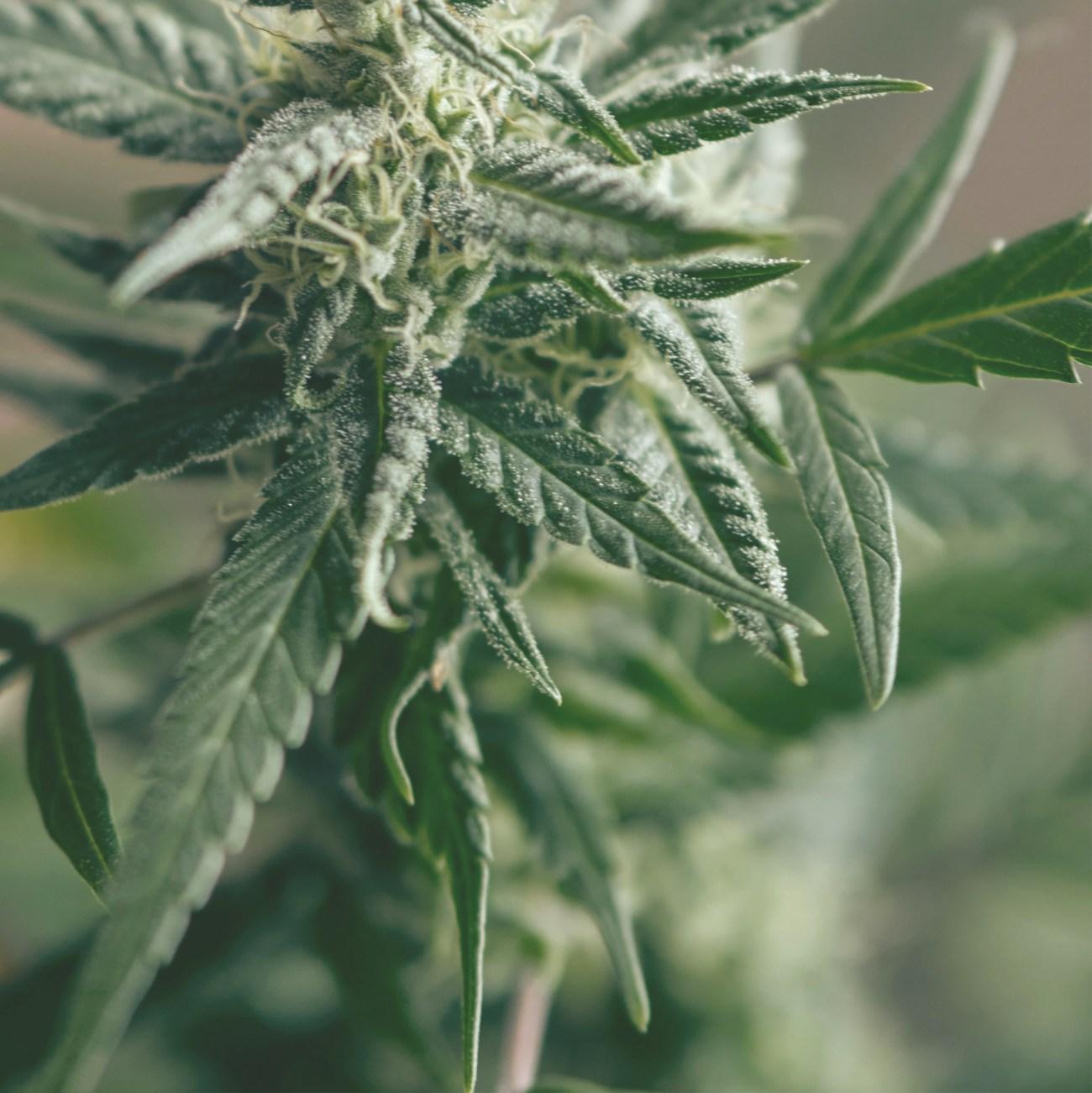 Organic CBD leaf that is used to make Kursiv CBD Products