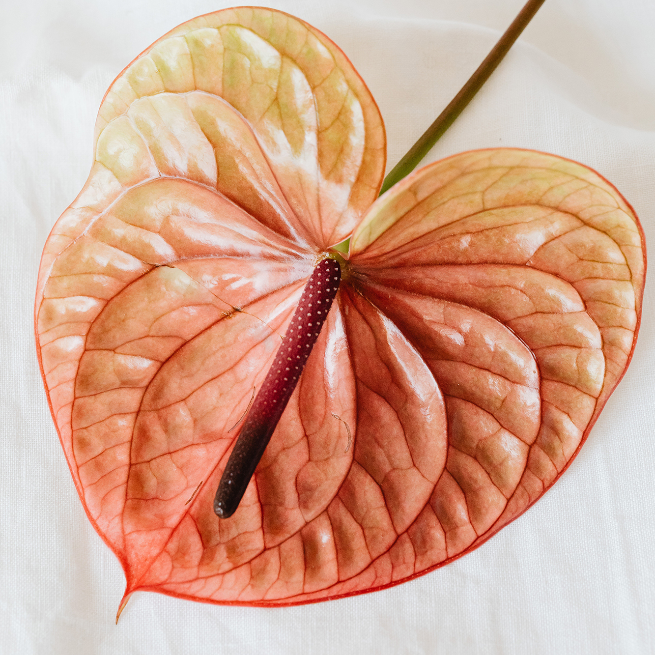 Anthurium pink and yellow flower on white fabric