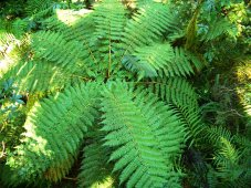 The ferns of New Zealand in Milford Sound, in the Fiordland National Park, New Zealand.