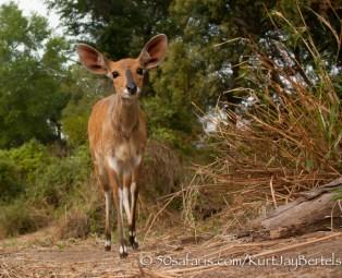 kurt jay bertels, camera trap, camera trap images, wildlife photography, BBC wildlife magazine, photography, bushbuck