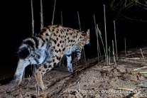 kurt jay bertels, camera trap, camera trap images, wildlife photography, BBC wildlife magazine, photography, serval, female, night