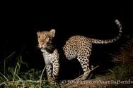 kurt jay bertels, camera trap, camera trap images, wildlife photography, BBC wildlife magazine, photography, male, young, night, leopard